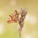 Kleiner Perlmuttfalter/ Issoria lathonia