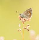 Kleiner Esparsetten-Bläuling/ Polyommatus thersites