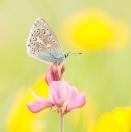 Himmelblauer Bläuling/ Polyommatus bellargus