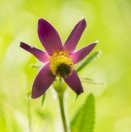 Berg-Kuhschelle / Pulsatilla montana / Mountain anemone