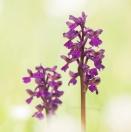 Kleines Knabenkraut / Anacamptis morio / Green veined orchid