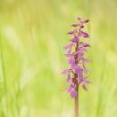Prächtiges Manns-Knabenkraut / Orchis mascula ssp speciosa/ Early-purple orchid