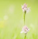 Dreizähniges Knabenkraut / Orchis tridentata / Toothed orchid