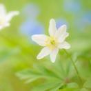 Buschwindröschen / Anemone neorosa / Wood anemone