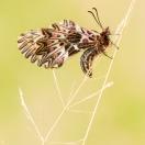 Osterluzeifalter / Zerynthia polyxena / Southern Festoon