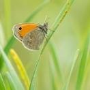 Kleines Wiesenvoegelchen / Coenonympha pamphilus / Small Heath