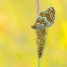 Wegerich-Scheckenfalter / Melitaea cinxia / Glanville Fritillary